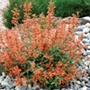 Agastache Kudos Mandarin Flower Plants
