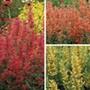 Agastache Kudos Flower Plant Collection