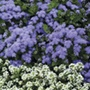 Ageratum Champion Blue F1 Flower Plants