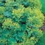 Alchemilla mollis Plants