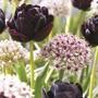 Allium Red Eye with Tulip Black Hero