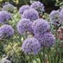 Allium In Orbit Plants