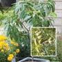 Patio Almond Robijn fruit tree
