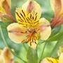 Alstroemeria Majestic Layon Plants