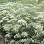 Ammi majus Flower Plants