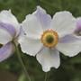Anemone Dreaming Swan Plants