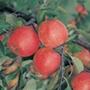 Apple Red Falstaff fruit tree