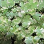 Hydrocotyle sibthorpioides variegata 1ltr Oxygenating Pond Plant