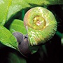 Ramshorn snails - Planorbis corneus
