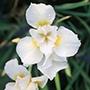 Iris sibirica 'Snow Queen' 1ltr Moisture and Shade Loving Plant