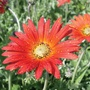 Arctotis Flame Flower Plants