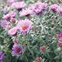 Aster Purple Dome Plants