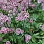 Astrantia Star of Beauty Plants