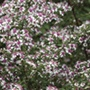 Aster Lady in Black Plants