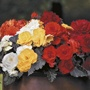 Begonia Non-Stop Mocca Mixed F1 Plants