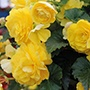 Begonia Illumination Lemon F1 Plants