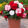 Begonia Majestic Romance F1 Plants