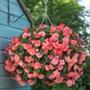 Begonia Sweet Spice Bounty Flower Plants