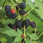 Blackberry Loch Ness AGM Fruit Plant (Floricane)