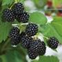 Blackberry Loch Ness AGM Fruit Plant