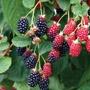 Blackberry Apache Plant