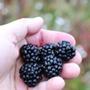 Blackberry Little Black Prince (Primocan