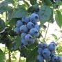 Blueberry Aurora Plant