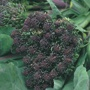 Sprouting Broccoli Rudolph