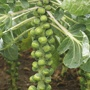 Brussels Sprout Crispus F1 Plants