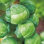 Brussels Sprout Attwood F1 Plants