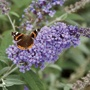 Buddleja Buzz Lavender Flower Plants