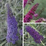 Buddleja Monarch collection