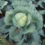 Cabbage Kilaton F1 AGM Veg Plants