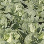 Cabbage Regency F1 Plants