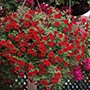 Calibrachoa Cabaret® Bright Red Plants