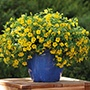 Calibrachoa Cabaret® Deep Yellow Plants