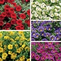 Calibrachoa Cabaret® Plant Collection