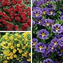 Calibrachoa Cabaret Flower Plant Collection