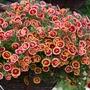 Calibrachoa Double Can-Can Orange Tastic Flower Plants