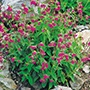 Campion Red Plants