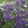 Campanula persicifolia Blue Plants