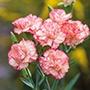 Spray Carnation Reflection