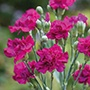 Spray Carnation Venezia