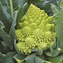 Cauliflower Plant Veg Collection