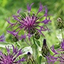 Centaurea Amethyst Dream