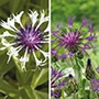 Centaurea Amethyst Plant Collection