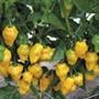 Chilli Pepper Trinidad Perfume Plants