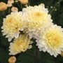 Chrysanthemum Pennine Drift
