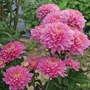 Chrysanthemum Pennine Jane