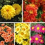 Chrysanthemum Hardy Collection